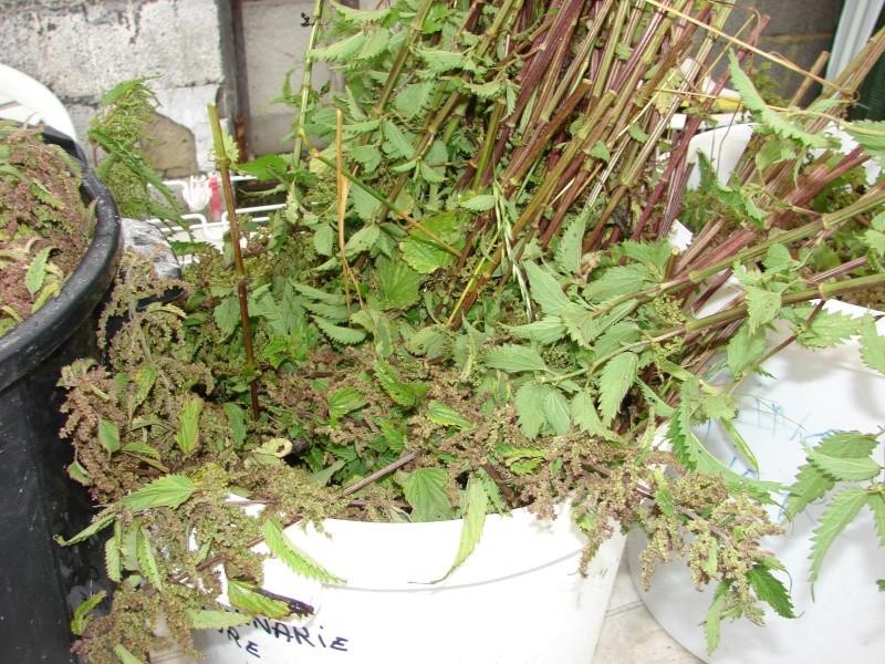 Ma récolte d'ortie Dsc01412