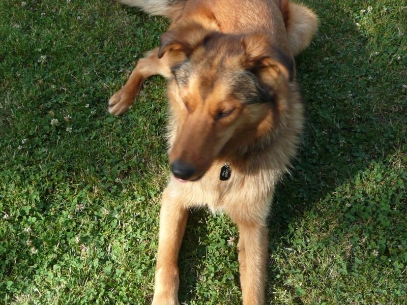 Casper 5ans croisé husky/berger  dans  la Sarthe PAR:72  ADOPTE Casper10
