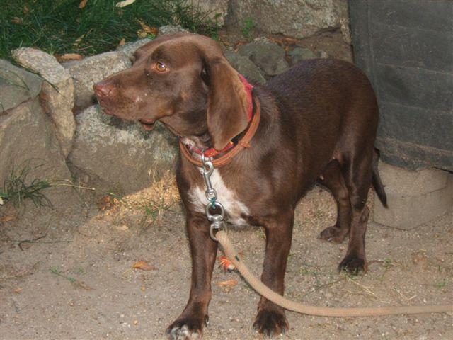 Lilou petite chienne au grand coeur en FA chez mitsu sous asso PAN (ADOPTEE) Lilou210