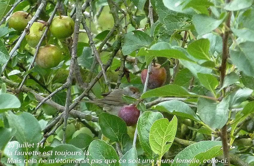 2011: La bio-diversité dans mon jardin.... oiseaux, mouotns, nénuphars. - Page 3 00114