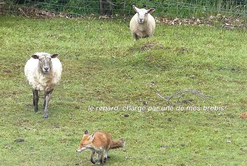 Visite d'une renarde et de ses 2 petits. 0011911