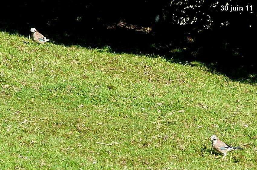 2011: La bio-diversité dans mon jardin.... oiseaux, mouotns, nénuphars. - Page 3 00310