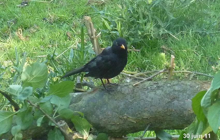2011: La bio-diversité dans mon jardin.... oiseaux, mouotns, nénuphars. - Page 3 00410