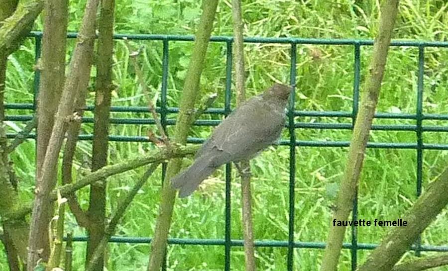 2011: La bio-diversité dans mon jardin.... oiseaux, mouotns, nénuphars. - Page 4 00427