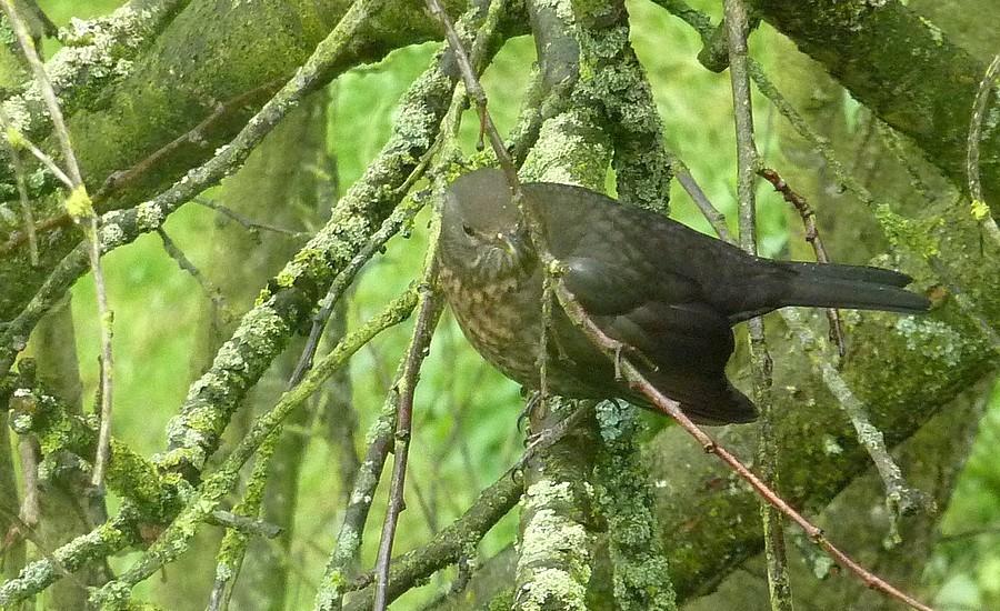 2011: La bio-diversité dans mon jardin.... oiseaux, mouotns, nénuphars. - Page 4 00531