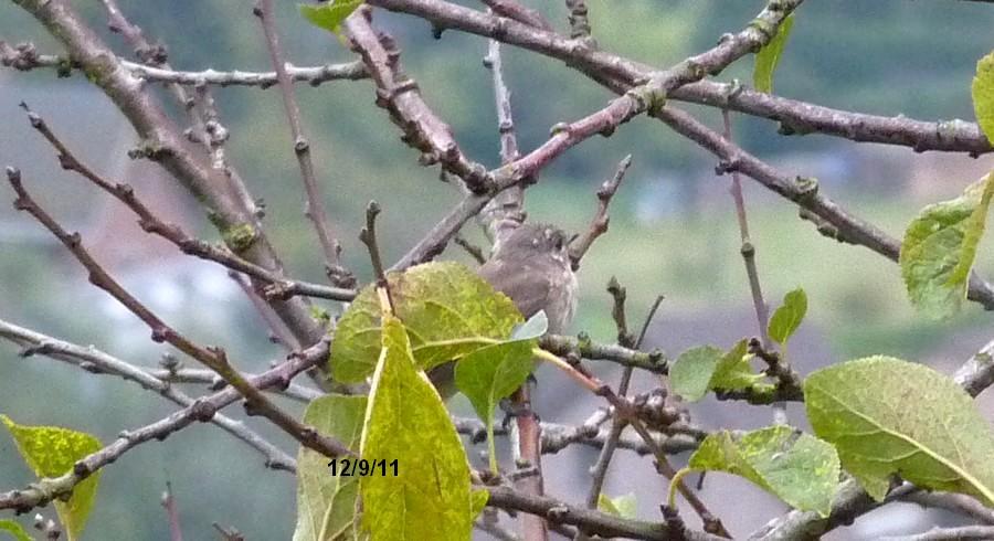 2011: La bio-diversité dans mon jardin.... oiseaux, mouotns, nénuphars. - Page 4 00617