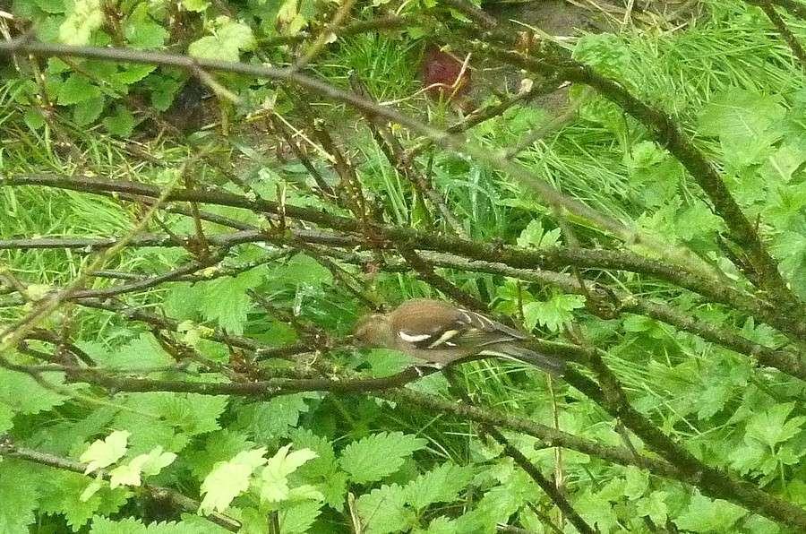2011: La bio-diversité dans mon jardin.... oiseaux, mouotns, nénuphars. - Page 4 00620