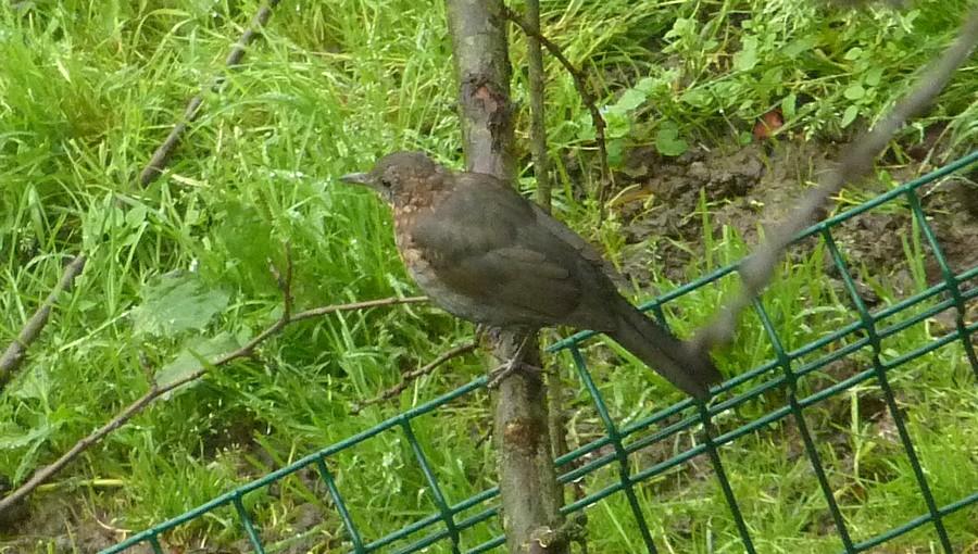 2011: La bio-diversité dans mon jardin.... oiseaux, mouotns, nénuphars. - Page 4 00722