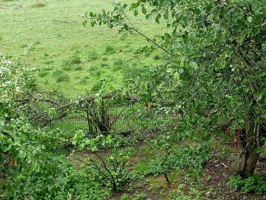 Visite d'une renarde et de ses 2 petits. 00911