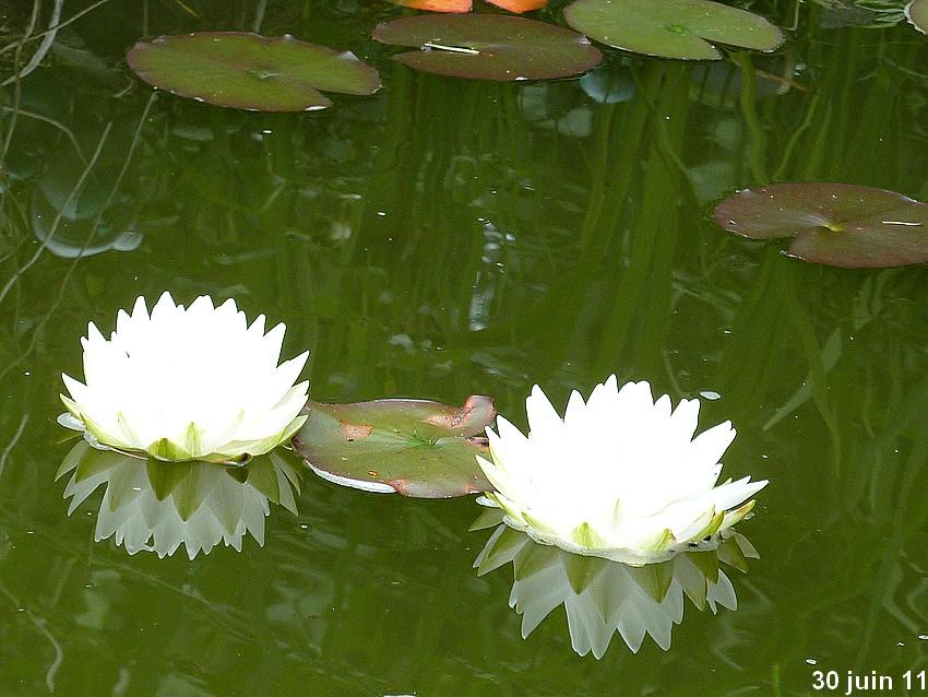 2011: La bio-diversité dans mon jardin.... oiseaux, mouotns, nénuphars. - Page 3 01210