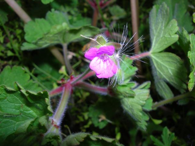 Geraniums du jardin Dscn6813