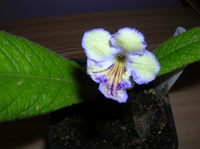 Quelques streptocarpus en fleur Dscn8211
