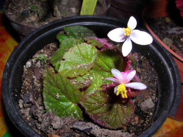 Floraison de l'hybride d'hoehneana de Reiner Dscn8212