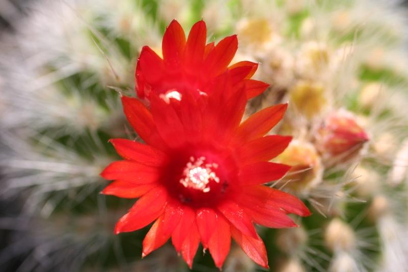 cactus en fleur [Parodia nivosa] 00211