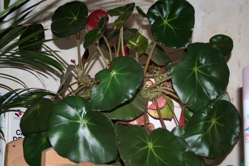 Echange begonia nenuphar 00212