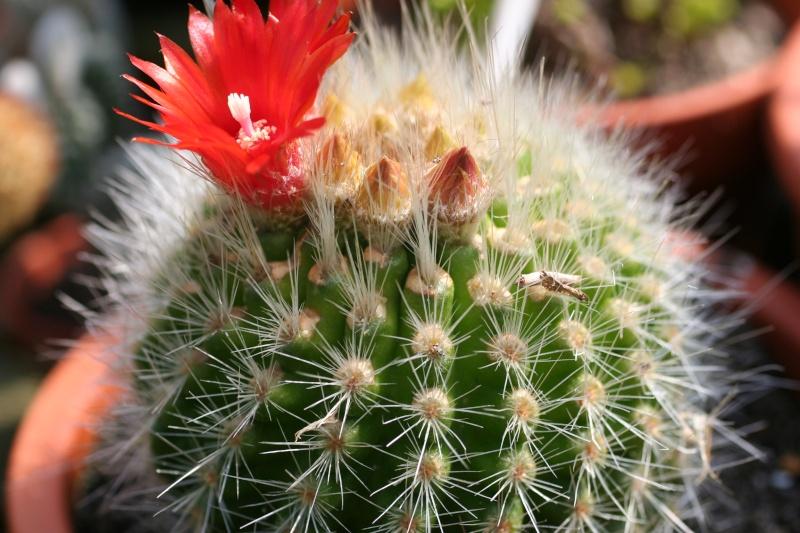 cactus en fleur [Parodia nivosa] 00311