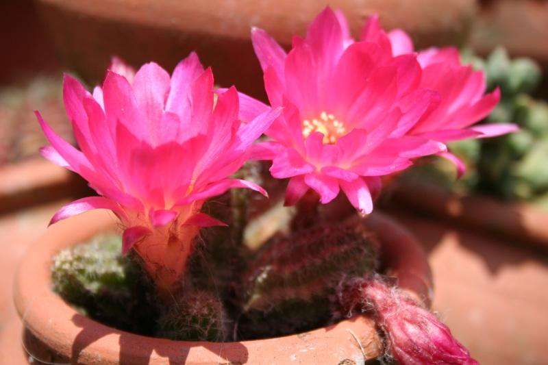 quelques fleurs Chamae10