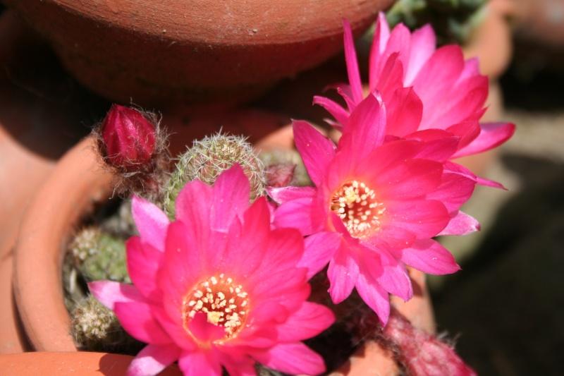 quelques fleurs Chamae12