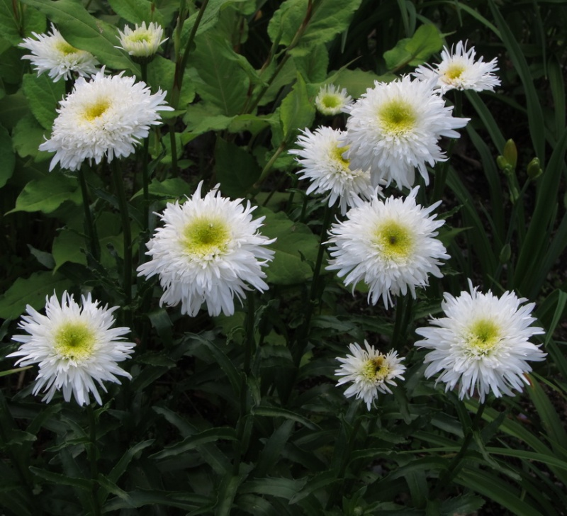 Leucanthemum Fiona Coghill Img_1316