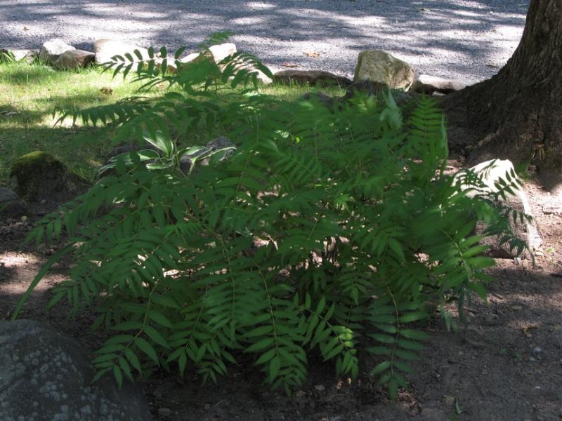 """Un arbuste mais lequel?----> trouvé """"Sorbaria Sorbifolia"""" Img_1910"""