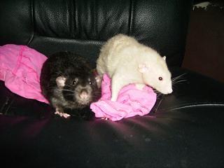 rats nus, dumbo, double rex et standard a adopter (92) Deux_m10