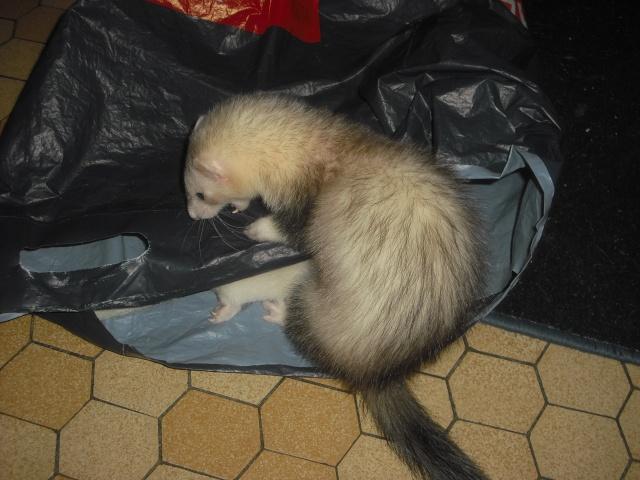 knacky, furette albinos - adoptée par Mélanie - Page 2 Cimg3225