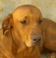 POLO - x labrador/beauceron fauve 12 ans (11 ans de refuge) eligible FALD refuge des chiens en liberté,  Aix en Provence (13) A0001012