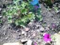 Mes géraniums et la nouvelle plate-bande ovale Imgp1011