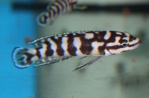 Julidochromis : Gombe vs transcriptus Mpulungu  Julido11