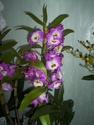 Dendrobium delicatum Oasis_19