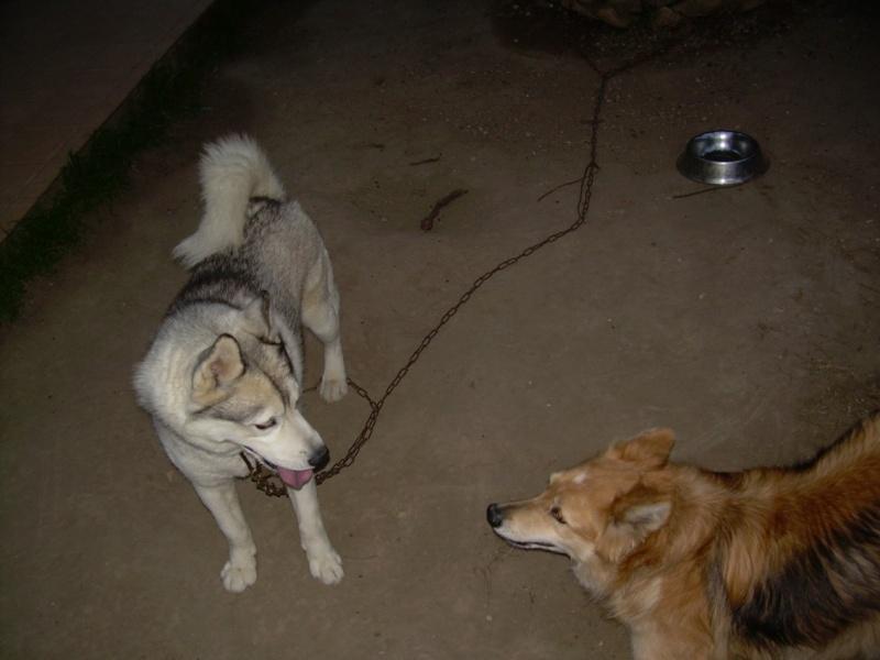 VOLK, husky de 3 ans dans l'aude (11) - Page 2 V110
