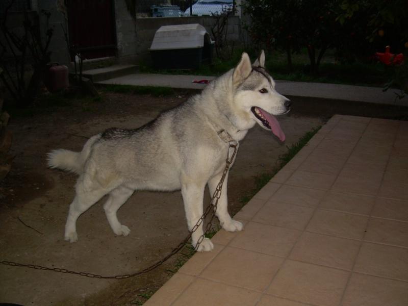 VOLK, husky de 3 ans dans l'aude (11) - Page 2 V510
