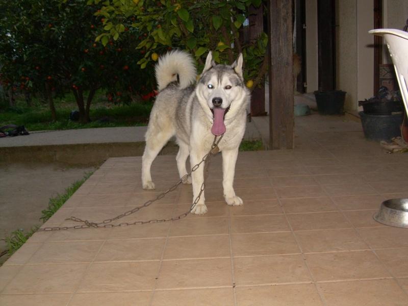 VOLK, husky de 3 ans dans l'aude (11) - Page 2 V710