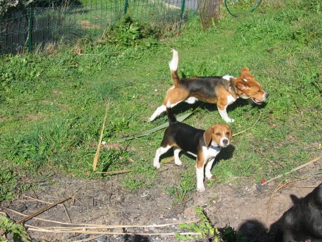 des beagles Img_0029