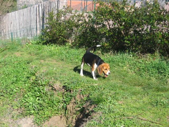 des beagles Img_0030