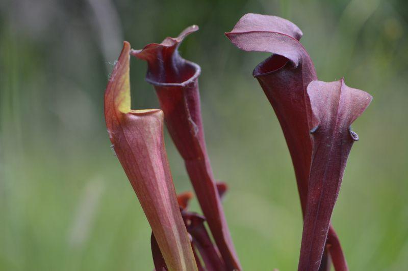Hybrides de Sarracenia Sarrac29