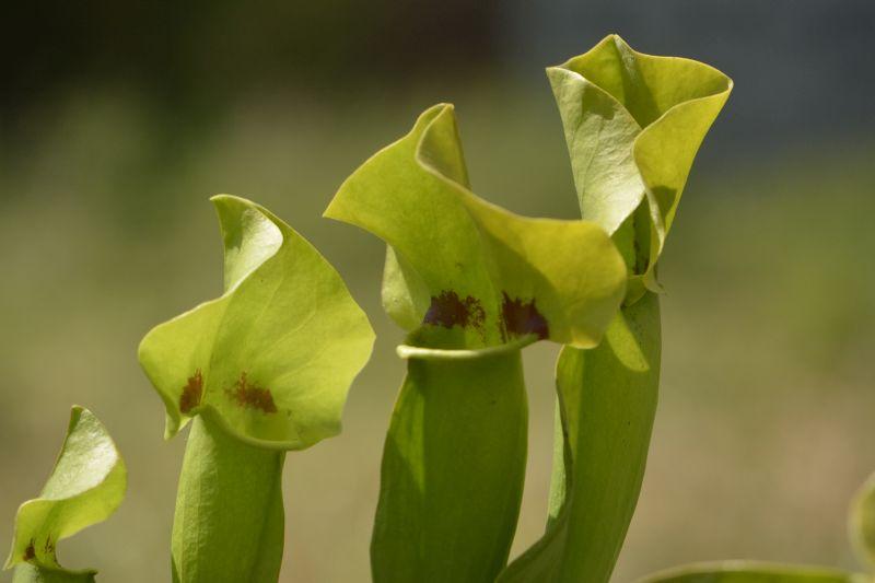 Hybrides de Sarracenia Sarrac30