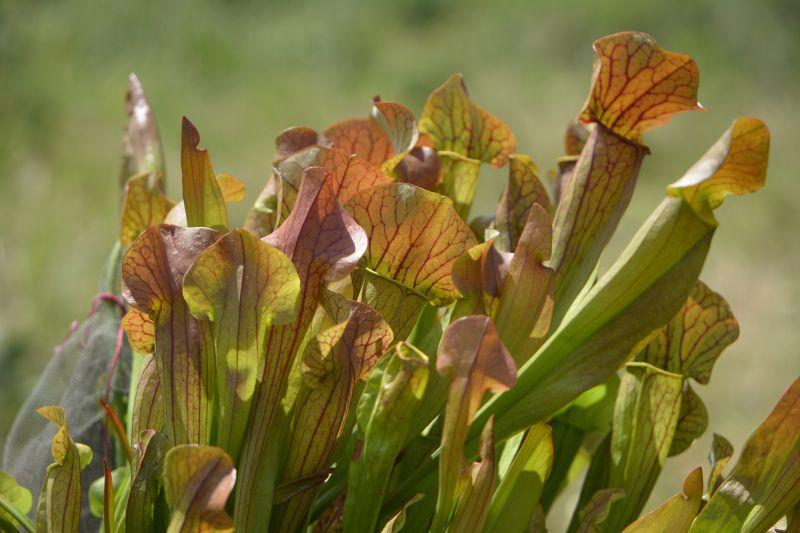 Hybrides de Sarracenia Sarrac31
