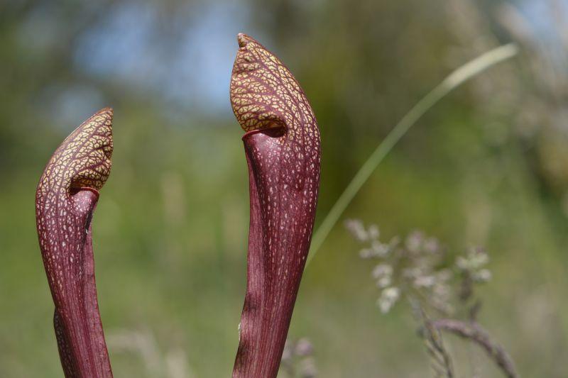 Hybrides de Sarracenia Sarrac32