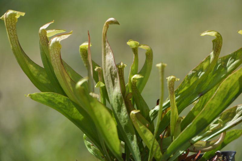 Hybrides de Sarracenia Sarrac35