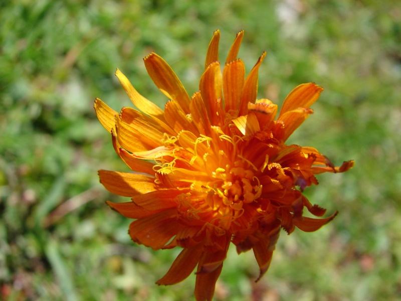 La flore en Haute Tarentaise - Page 2 Dsc02910