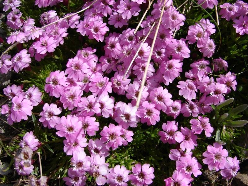 La flore en Haute Tarentaise - Page 2 Dsc02911