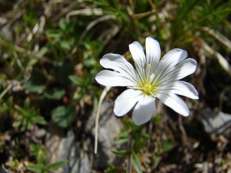La flore en Haute Tarentaise - Page 2 Dsc02913