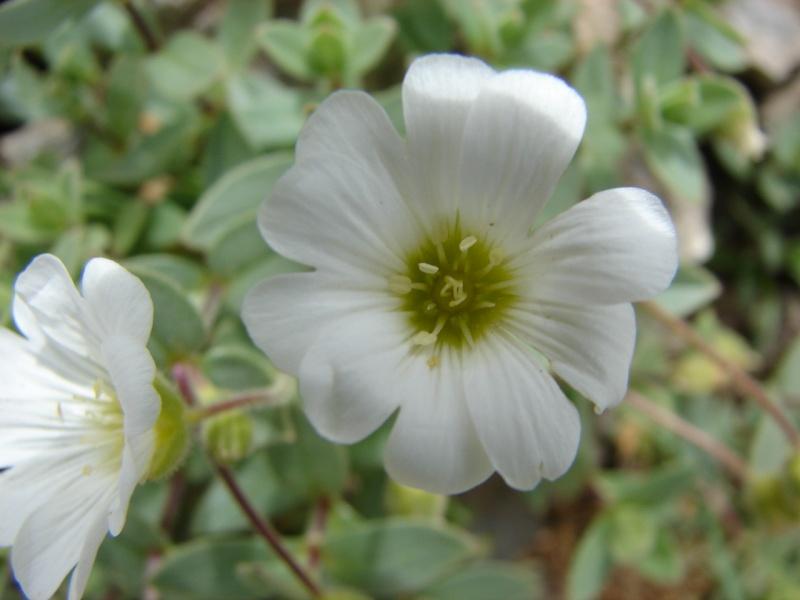 La flore en Haute Tarentaise - Page 2 Dsc02914