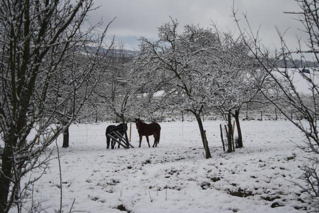 intie le franche-montagne demi-sang suisse Img_2122