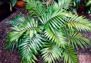 quelle est le nom de cette plante??? [Aspidistra élatior] Chamae10