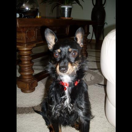 Petite chienne coupé pinscher perdue 27396_10