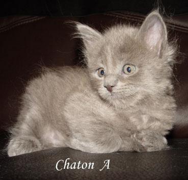 1- Thème : les chatons Maine_10