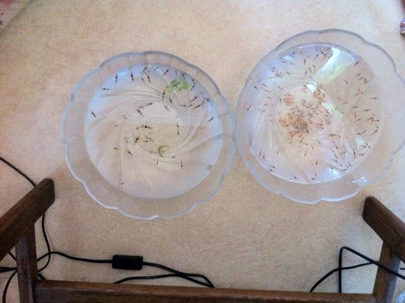Quelques photos de mes crevettes Img_0311