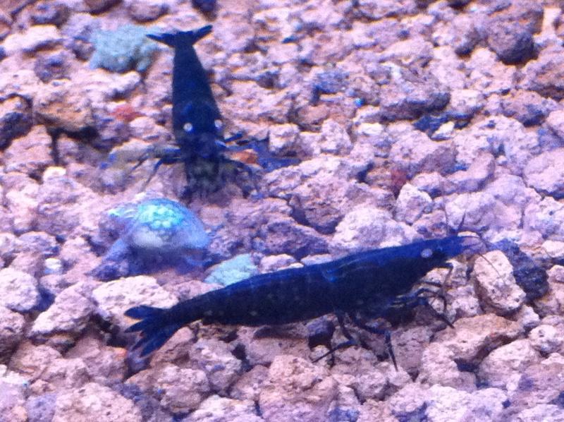 Quelques photos de mes crevettes Img_0915